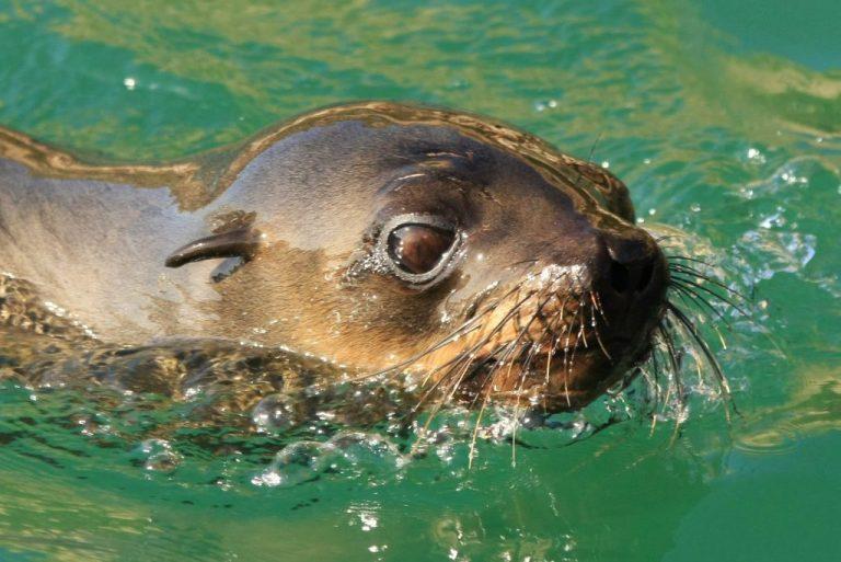 cape_fur_seal_ocean_safaris-1-1024x684