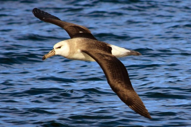 Ocean_Safaris_Albatross-3-1024x682